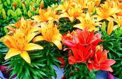 Colorful lily Royalty Free Stock Images