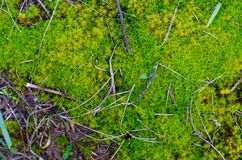 Colorful lime green moss with some tiny sticks and a bit of grass. Stock Photo