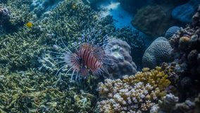 Colorful lionfish in a shallow reef. Lionfish in a coral reef stock photo