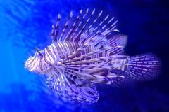 Red lion fish. Colorful lionfish with venomous spines in the blue sea. Pterois Volitans species living in Indo-Pacific ocean, Caribbean Sea, East Coast of the Royalty Free Stock Images