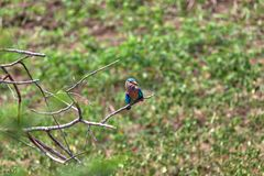 Colorful little bird named kingfisher in front view is sitting on a dry twig. In the Yala Nationalpark, on the tropical island Sri Lanka in the Indian Ocean stock photo