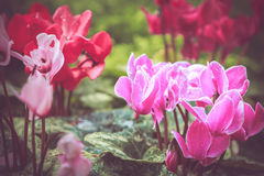 Colorful little flower blossom in garden with vintage retro tone Stock Photo