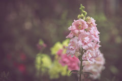 Colorful little flower blossom in garden with vintage retro tone Royalty Free Stock Photography