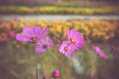 Colorful little flower blossom in garden with vintage retro tone Stock Image