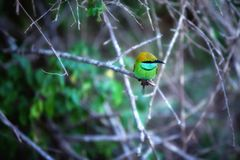 Colorful little green bird named bee-eater is sitting on a dry twig in the Yala Nationalpark Royalty Free Stock Photo