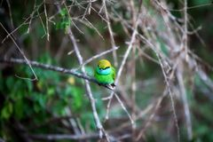 Colorful little green bird named bee-eater is sitting on a dry twig in the Yala Nationalpark Stock Photos
