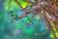 Colorful little green bird named bee-eater is sitting on a dry twig in the Yala Nationalpark. On the tropical island Sri Lanka in the Indian Ocean during a royalty free stock photo