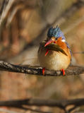 Colorful Little Malachite Kingfisher With A Sizeab Royalty Free Stock Photos