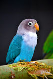 Colorful little parrot. Curious glance of little parrot Stock Photo