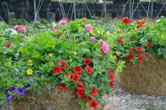 Colorful little petunia hanging baskets Royalty Free Stock Photo