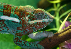 Colorful Lizard. Side head and front legs of a lizard royalty free stock photo
