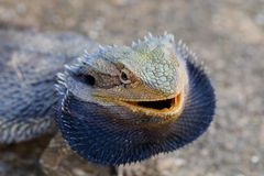 Colorful lizard Stock Image