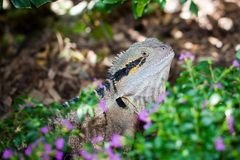 Colorful lizard Stock Photography