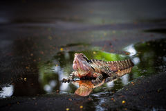 Colorful lizard. In the water Royalty Free Stock Images
