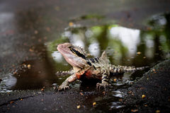 Colorful lizard. In the water Stock Image