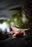 Colorful lizard. In the water Royalty Free Stock Image