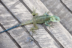 Colorful Lizard Royalty Free Stock Photography