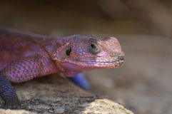 Colorful lizard Stock Images