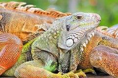 Colorful lizard detail Royalty Free Stock Photo