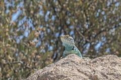 Colorful Lizard Enjoying The Sun Stock Image