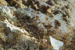 Colorful lizard fish on reef rocks Stock Photography