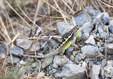 Colorful Lizard. An intricately patterned lizard with white stripes down its back and a fluorescent green stomach and throat Royalty Free Stock Image
