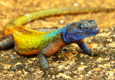 Colorful lizard at Matopos NP. Colorful lizard at Matopos (Matobo) National Park, Zimbabwe Stock Images