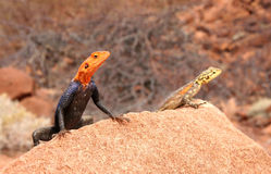 Colorful lizards peeking from a rock Stock Images