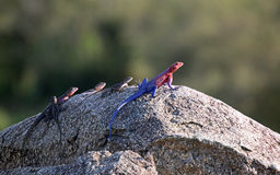 Colorful lizards, Tanzania Royalty Free Stock Photography
