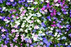 Colorful lobelia Stock Photo