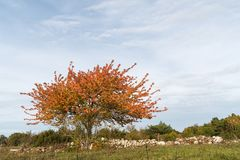 Colorful lone tree by a stone wall Stock Images