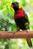 Colorful lorikeet bird Royalty Free Stock Image