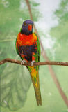 Colorful lorikeet bird. Blue orange and green bird on a branch Stock Image