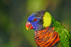 Colorful Lorikeet Bird Closeup. Closeup of a colorful lorikeet Royalty Free Stock Image