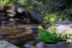 Colorful Lorikeet Stock Photo