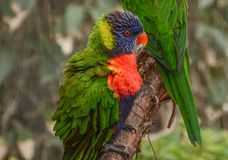 Colorful Lorikeets Perched on a Branch stock photography