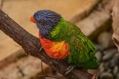 Colorful Lorikeets Perched on a Branch stock photos