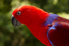 Colorful Lory- parrot Royalty Free Stock Photo