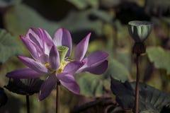 Lotus flower blooming at Taipei Botanical Garden stock photography