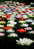 Colorful lotus flower in river Royalty Free Stock Images