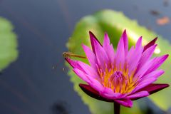 Colorful lotus flowers bloom in the morning stock photo
