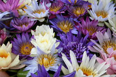 Colorful lotus flowers Stock Photos
