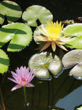 Colorful lotus/water lily with green leaves in the pond Royalty Free Stock Photos