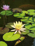Colorful lotus/water lily with green leaves in the pond Royalty Free Stock Image