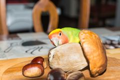 Colorful Lovebird parrot - Agapornis roseicollis. Greedy and gourmet parrot Royalty Free Stock Images