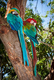 Colorful and loving Ara parrots. Taken in a small park in Colombia Stock Image