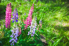 Colorful lupine flowers on the meadow in summer Royalty Free Stock Image