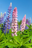 Colorful lupines flowers grow on the meadow Royalty Free Stock Images