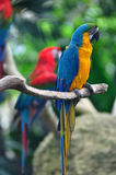 Colorful Macaw Royalty Free Stock Image