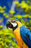 Colorful Macaw. Vibrantly colored Macaw and natural background stock photography